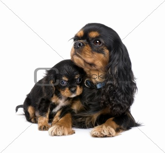 Cavalier King Charles puppy and mother