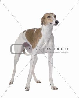 Greyhound (15 months)
