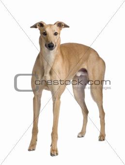 Greyhound (17 months)