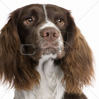 English Springer Spaniel (2 years)
