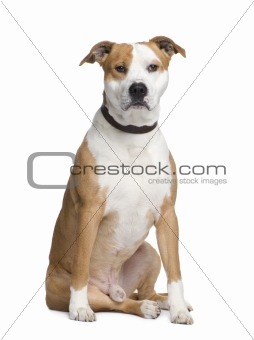 American Staffordshire terrier (2 years)