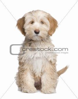 Tibetan Terrier puppy (3 months)