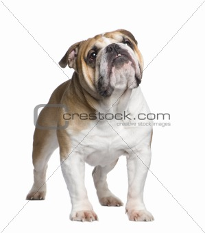 english Bulldog (6 years)