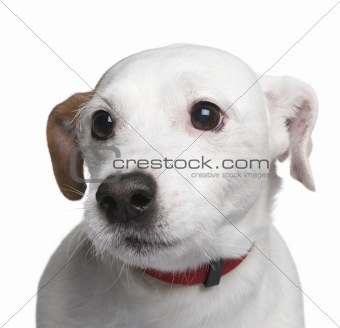 Mixed-Breed Dog with a jack russell (6 years)