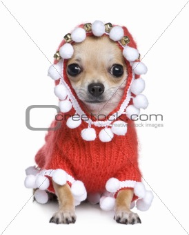 chihuahua dressed as father christmas