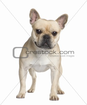 French Bulldog (2 years)