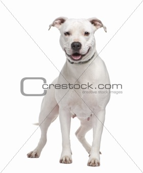 American Staffordshire terrier (4 years)