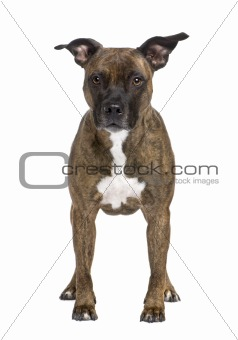 American Staffordshire terrier (8 years)