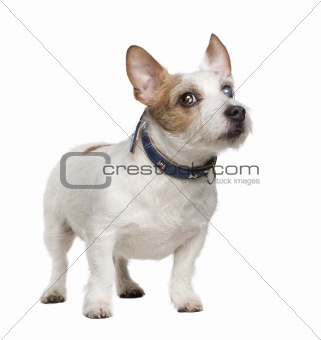 blind Jack russell (8 years)