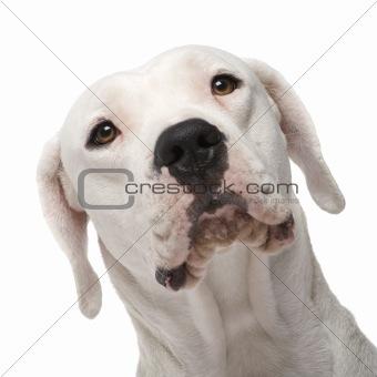 Argentine Dogo (18 months)