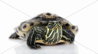 Turtle facing the camera - Acanthochelys
