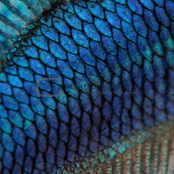 Image 1499787 close up on a fish skin blue siamese for Get fish scale
