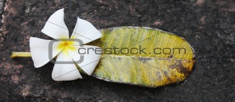 Fragapani flower and a green and yellow leaf