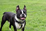 Smiling French Bulldog