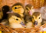 Easter ducks