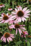 Marguerite Pink Flowers