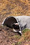 Jackass Penguin (Demersus Spheniscus)