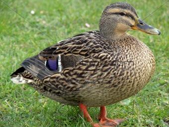 Calm Mallard Duck