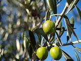 Hanging Olives