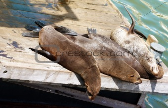 Four seals lying on the wooden deck