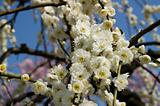 Plum flowers in spring