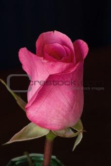 A beautiful single pink rose