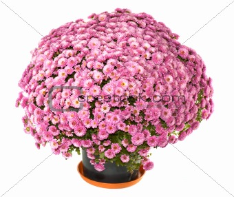 Chrysanthemums in flowerpot