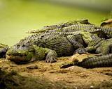 Group of Alligators