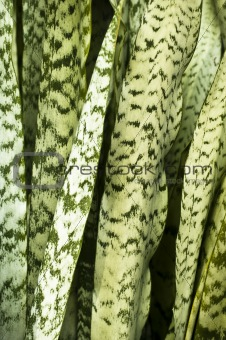 Abstract of Snake Plant