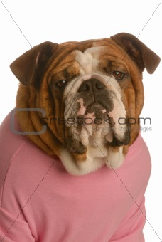 portrait of an english bulldog