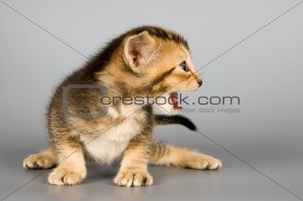 Kitten of Abyssinian breed
