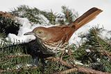 Brown Thrasher In Winter