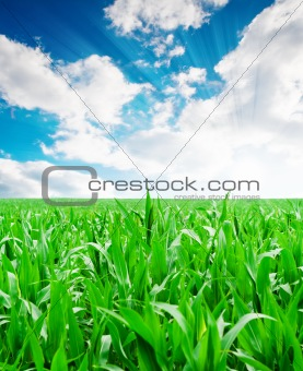 Green corn field