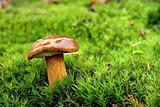 Brown mushroom on a green moss