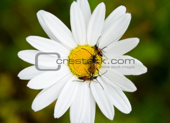 Three small bugs on a camomile