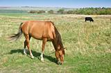 Grazing horse and bull