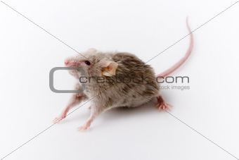 Grey mouse