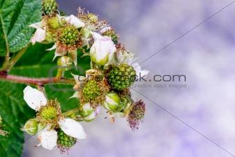 blackberry flowers, and green blackberries