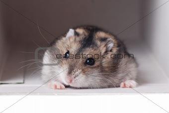 A Cute Dwarf Hamster