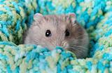 A Cute Dwarf Hamster