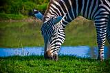 Zebra grazing by water hole