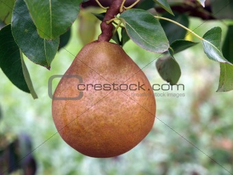 A Single Ripe Pear