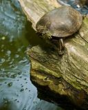 Turtle on a rotting log