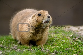 Sitting prairie dog