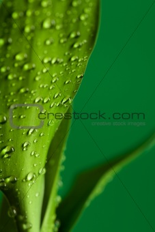Green bamboo leaves with drops