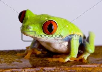 Red eye tree frog on wood