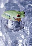 Frog on ice cube