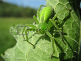 Green spider (Micrommata virescens)