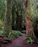 Colorful mossy redwood trunks