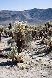 Cholla cactus garden USA